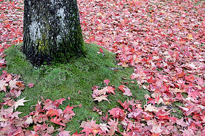 Tree and leaves; Leaves on the ground beside the base of a tree - p4429566f by Design Pics