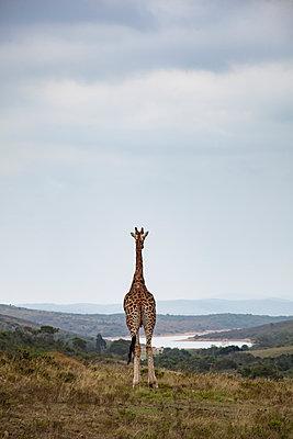 Giraffe auf einem Hochplateau in Südafrika - p712m1466286 von Jana Kay