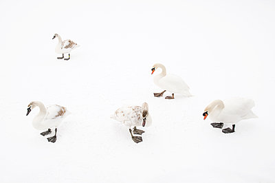 Mute Swan  group on ice, Hazerswoude-Dorp, Netherlands - p884m1129352 by Misja Smits/ Buiten-beeld
