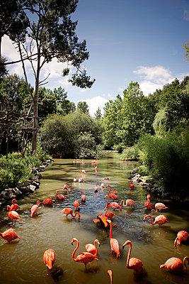 France, Flamingos - p1105m2291253 by Virginie Plauchut