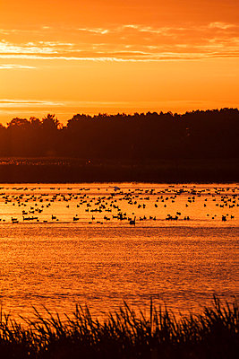 Flock of birds on a lake at sunrise - p739m719425 by Baertels