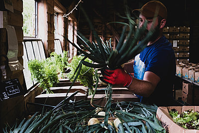Farmer standing in a farm shop, packing fruit and vegetable boxes. - p1100m2271469 by Mint Images