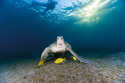Egypt, Red Sea, Green sea turtle (Chelonia mydas) eating seaweed - p300m878432 by Gerald Nowak