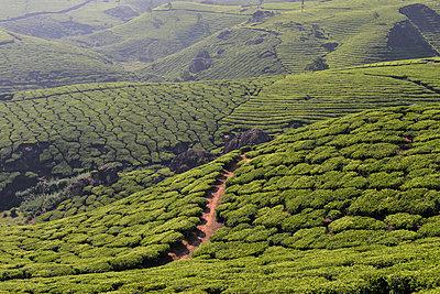 Teeplantage Munnar - p759m1207277 von Stefan Zahm
