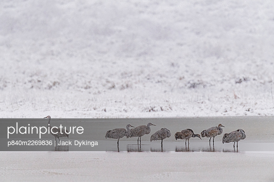 Sandhill cranes (Antigone canadensis) group of seven in blizzard, Bosque del Apache, New Mexico, USA, November. - p840m2269836 by Jack Dykinga