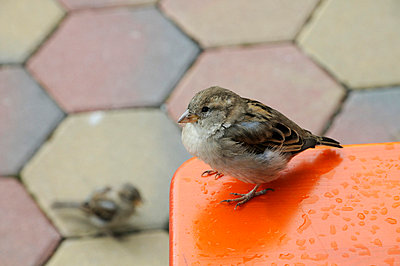 Sparrow - p1710239 by Rolau