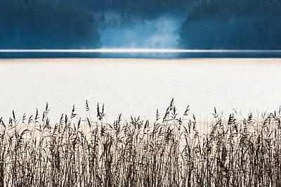 Reeds at lake - p312m1103585f by Mikael Svensson