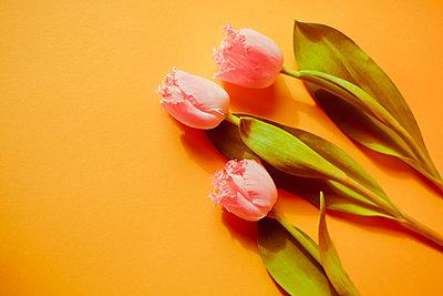 Tulpen Stillleben - p432m1539811 von mia takahara