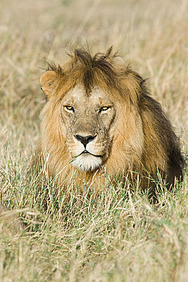 A lion in the grass - p9246691f by Image Source