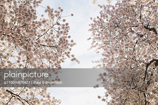 Blooming cherry blossom trees, flowering in the spring. Pink flowers.  - p1100m875421 by Paul Edmondson