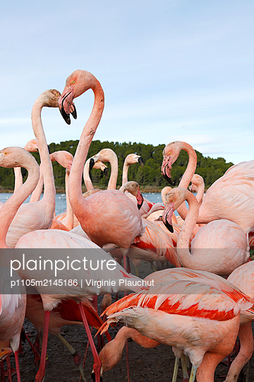 Flamingos - p1105m2145186 by Virginie Plauchut