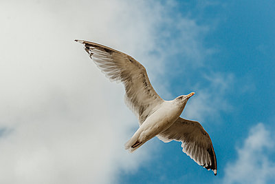 Seagull against the sky - p1628m2209896 by Lorraine Fitch