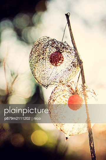 Physalis against the light - p879m2111202 by nico