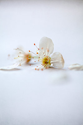 White Blossom with Missing Petals - p1248m2164297 by miguel sobreira