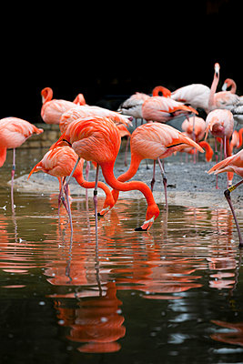 Greater flamingoes - p248m959257 by BY
