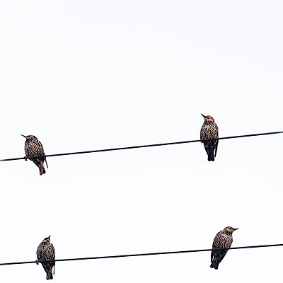 Birds perching on power line - p647m1113106 by Tine Butter