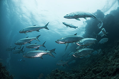 School of tarpon fish at reef, Xcalak, Quintana Roo, Mexico, North America - p924m1480640 by Rodrigo Friscione