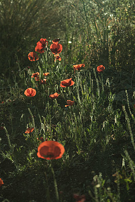 poppies - p985m1446186 by lia g.