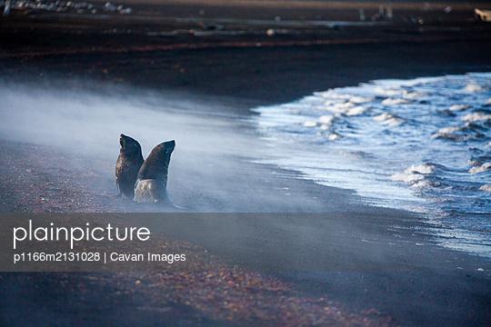 Fur Seals in steam - p1166m2131028 by Cavan Images