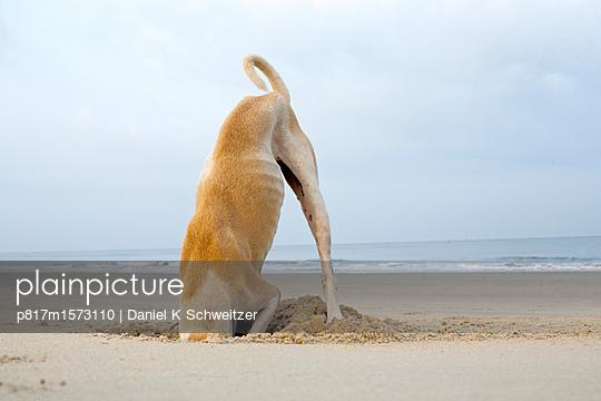 Spielender Hund am Stand - p817m1573110 von Daniel K Schweitzer