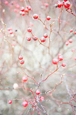 Rote Winter Beeren - p830m1008190 von Schoo Flemming