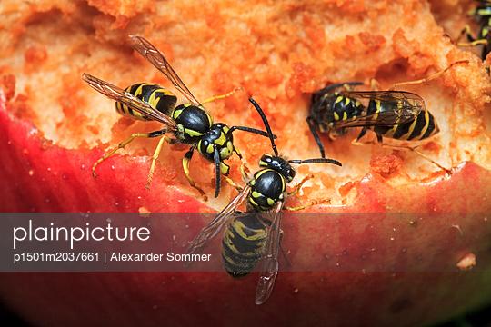 Deutsche Wespe (Vespula germanica) - p1501m2037661 von Alexander Sommer