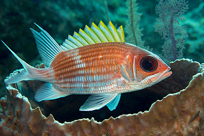 Squirrelfish (Holocentrus adscensionsis) finds shelter near a large Barrel sponge. - p1100m1544351 by Mint Images