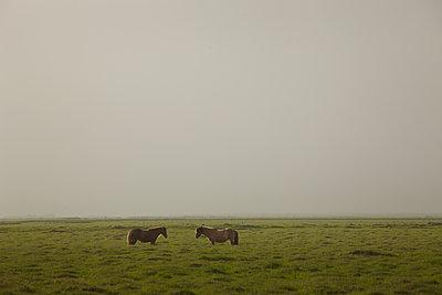 Zwei Islandpferde auf Weide, am Himmel Vulkanasche von Eyjafjallajoekull - p1314m1189960 von Dominik Reipka