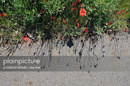 Poppies alongside concrete path - p1229m2192395 by noa-mar
