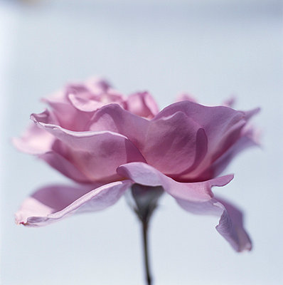 Zarte Rose - p4950182 von Jeanene Scott