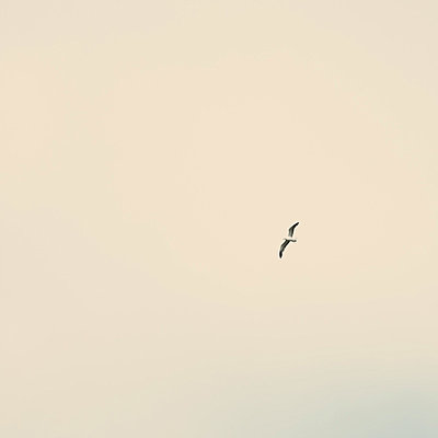 Seagull in overcast sky - p495m833355 by Jeanene Scott