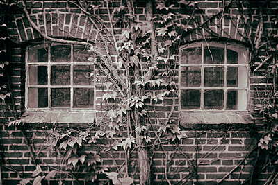 Cottage farmhouse brick wall Ivy covered windows - p609m1192651 by OSKARQ