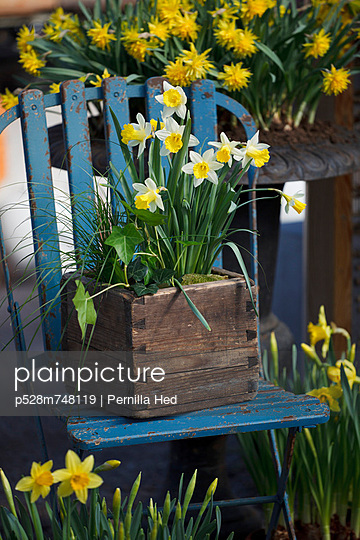 Daffodils in wooden flower pot on chair