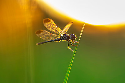 Close-up of dragonfly perching on plant stem during sunset - p1166m2060577 by Cavan Social