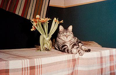 Katze auf dem Tisch - p2320047 von Britta Warnecke