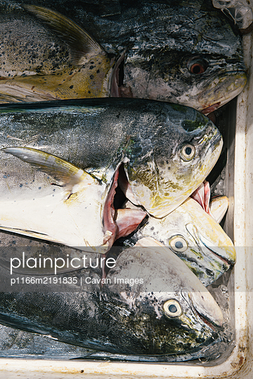 Mahi Mahi resting on ice in market after fresh catch in Caribbean - p1166m2191835 by Cavan Images