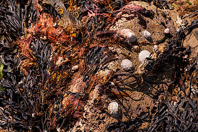 Seaweed and limpets on rock - p1047m1574929 by Sally Mundy