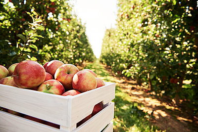 Fresh apples in crate in an apple orchard - p300m2166117 by gpointstudio