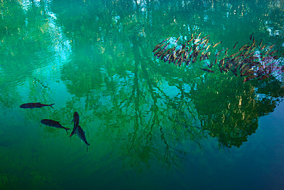 Fischschwarm in Süßwasserquelle - p719m2151508 von Rudi Sebastian