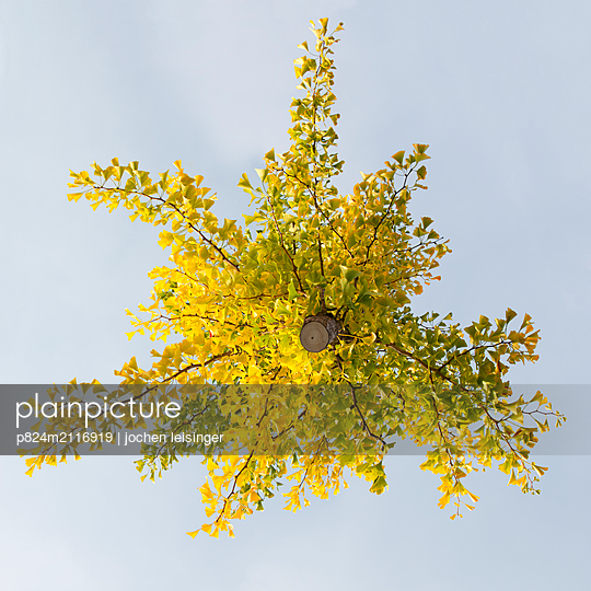 Hovering Ginkgo tree - p824m2116919 by jochen leisinger