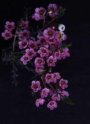 Wachsblume - p249m1559786 von Ute Mans