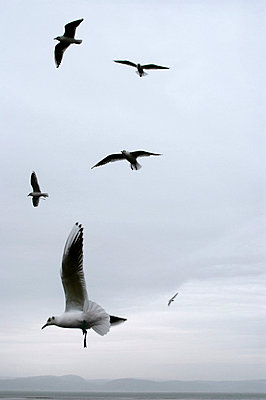 Seagulls flying in sky - p5970044 by Tim Robinson