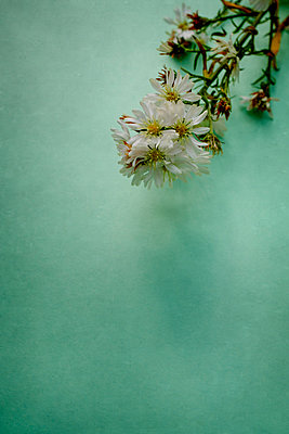 Daisy on a green background - p1228m2125852 by Benjamin Harte