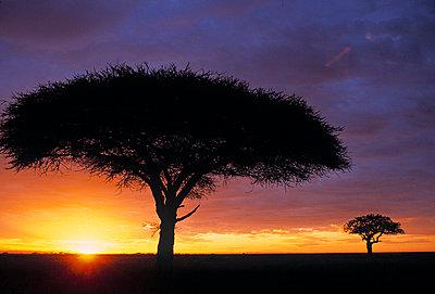 Acacia tree at sunrise - p6510769 by Paul Joynson Hicks photography