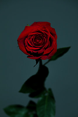 Red rose - p919m2195647 by Beowulf Sheehan