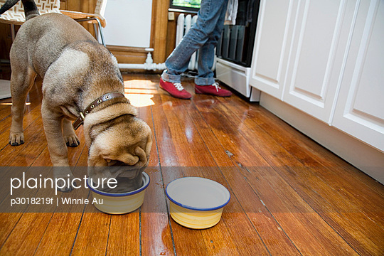 A Shar-Pei eating from a dog bowl, owner in background - p3018219f by Winnie Au