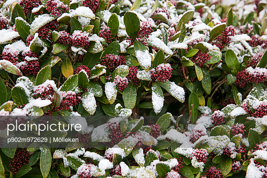 Strauch im Schnee - p902m972629 von Mölleken