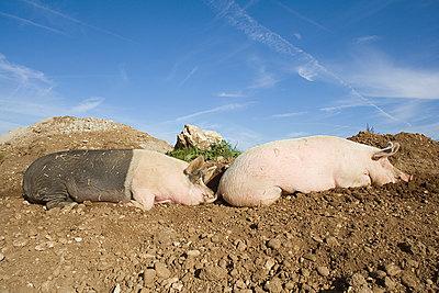 Hängebauchschweine - p573m1222063 von Birgid Allig