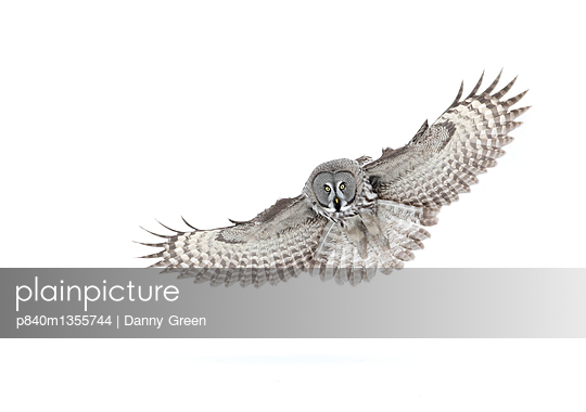 Great grey owl  in flight, Finland, March. - p840m1355744 by Danny Green