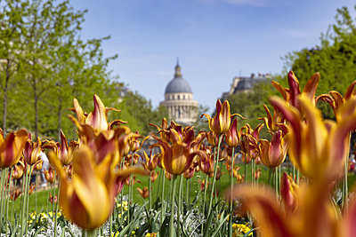 Tulips in Jardin du Luxembourg, Pantheon in background, Paris, France - p429m2098541 by Aziz Ary Neto